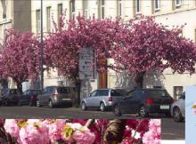 les cerisiers du japon abattus par E.Piolle